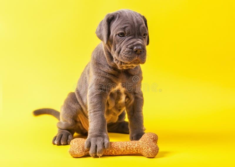 Corso do bastão do mastim do cachorrinho novo bonito & x28 italianos; 1 month& x29; fotografia de stock