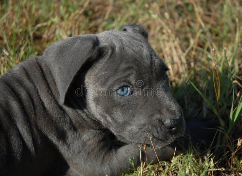 Corso molto giovane della canna del cucciolo fotografia stock libera da diritti