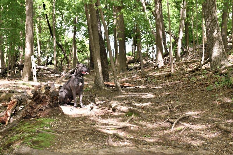 Corso Stock mit zwei Jährigen italienischer Mastiff im Wald stockbild