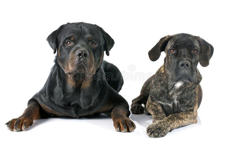 Corso y rottweiler del bastón del perrito fotos de archivo libres de regalías
