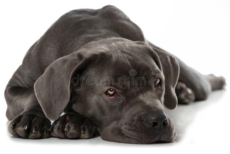 Download Corsohond van het riet stock foto. Afbeelding bestaande uit hond - 54089650