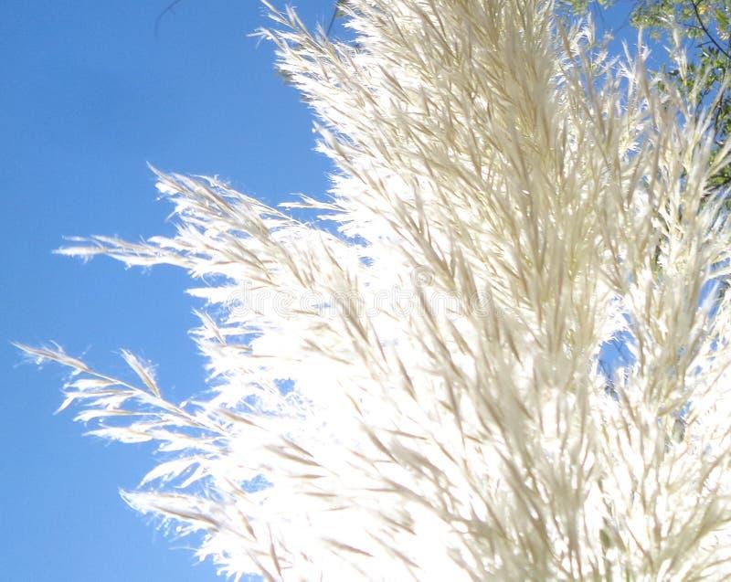 Cortaderia dell'erba di pampa brillante immagine stock