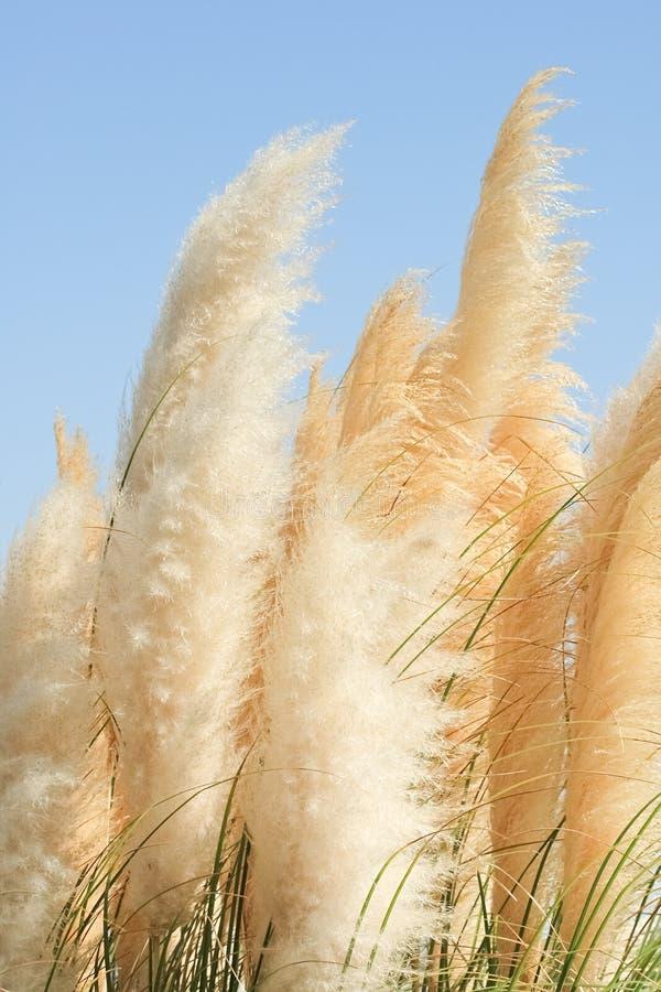 Download Cortaderia - Een Eeuwigdurend Kruid Stock Foto - Afbeelding bestaande uit herbaceous, romig: 28388402