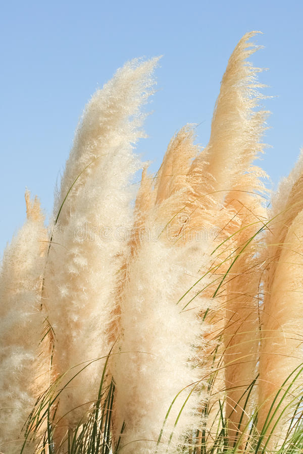 Beautiful View Of Perennial Herb Cortaderia Waving In The Wind Stock Photography