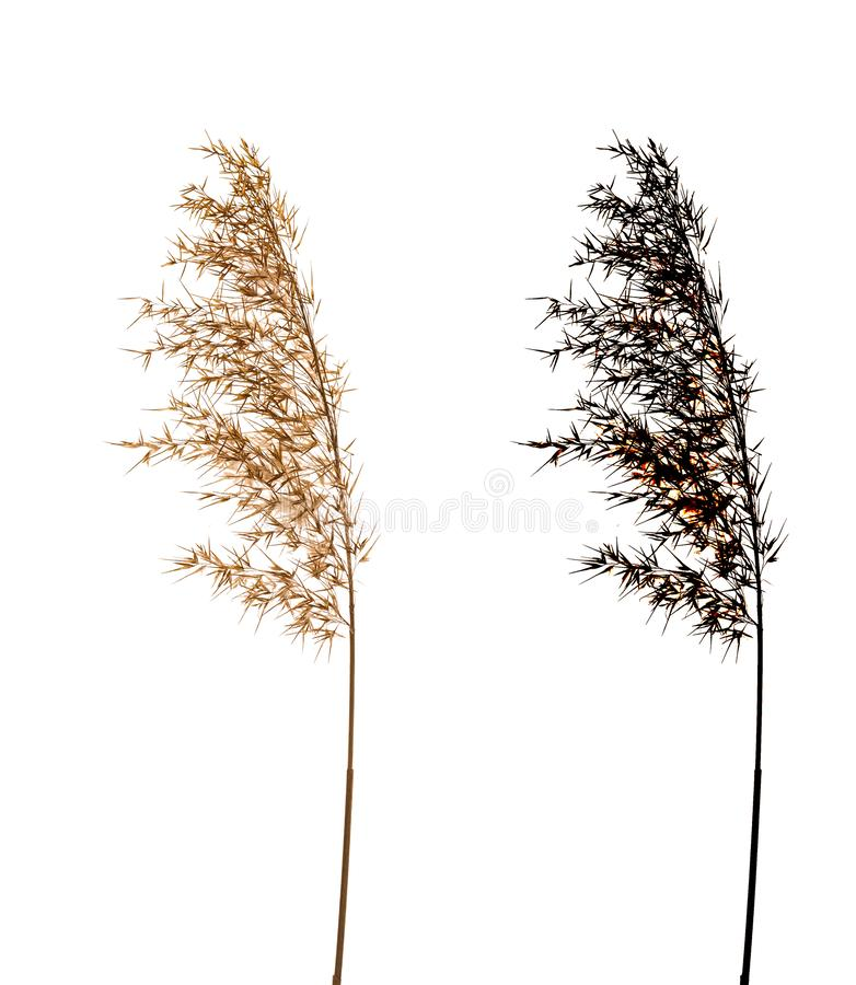 Cortaderia Selloana isolated on white background with black alpha mask. Dry flower Cortaderia Selloana known as Pampas grass. Family: Poaceae isolated on white royalty free stock photography