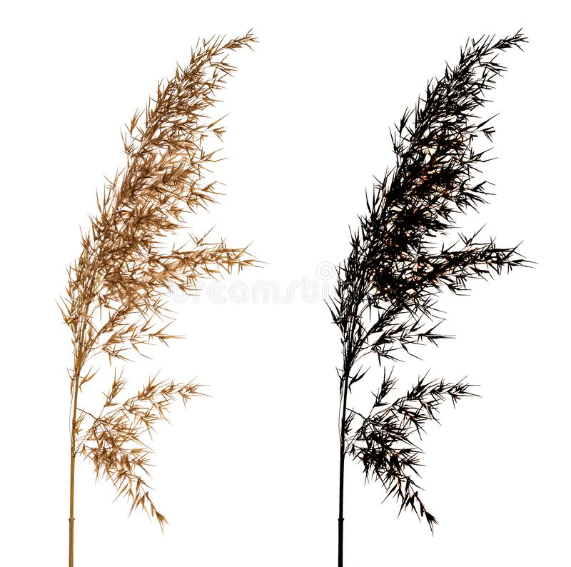 Cortaderia Selloana isolated on white background with black alpha mask. Cortaderia Selloana known as Pampas grass. Family: Poaceae . Dried flower isolated on royalty free stock photography