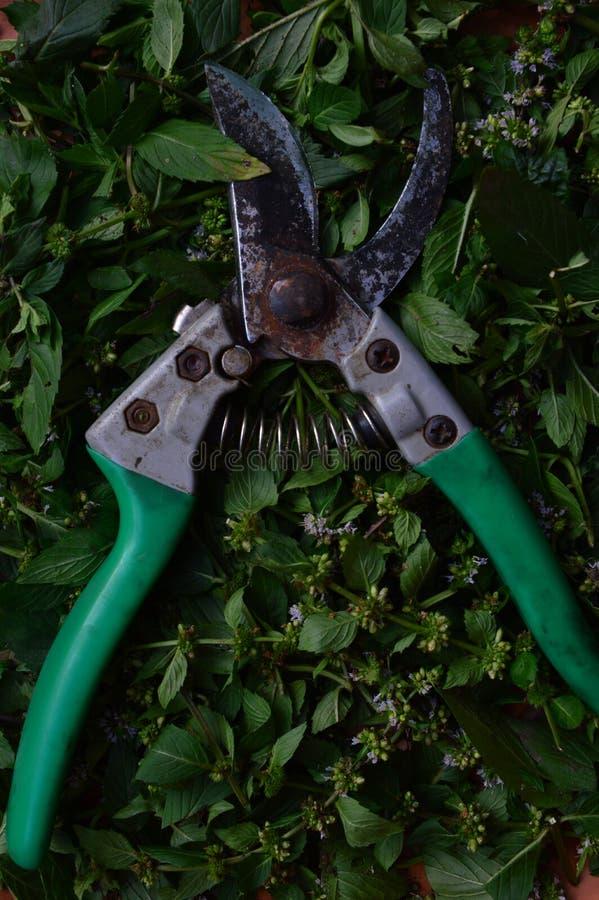 Cortador e folhas frescas da pastilha de hortelã para o tratamento erval fotos de stock