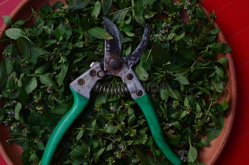 Cortador e folhas frescas da pastilha de hortelã para o tratamento erval foto de stock royalty free