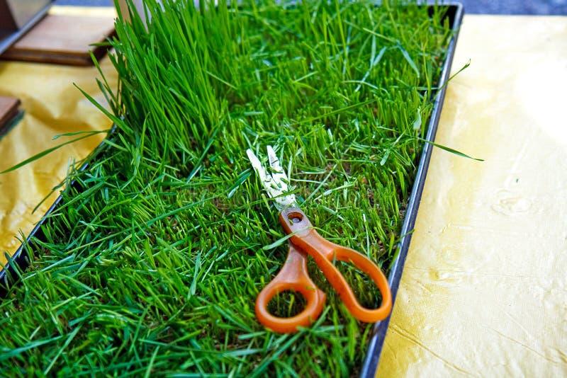 Cortando os wheatgrass imagens de stock