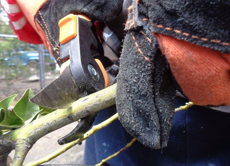 Cortando um ramo com tesouras de poda B fotografia de stock royalty free