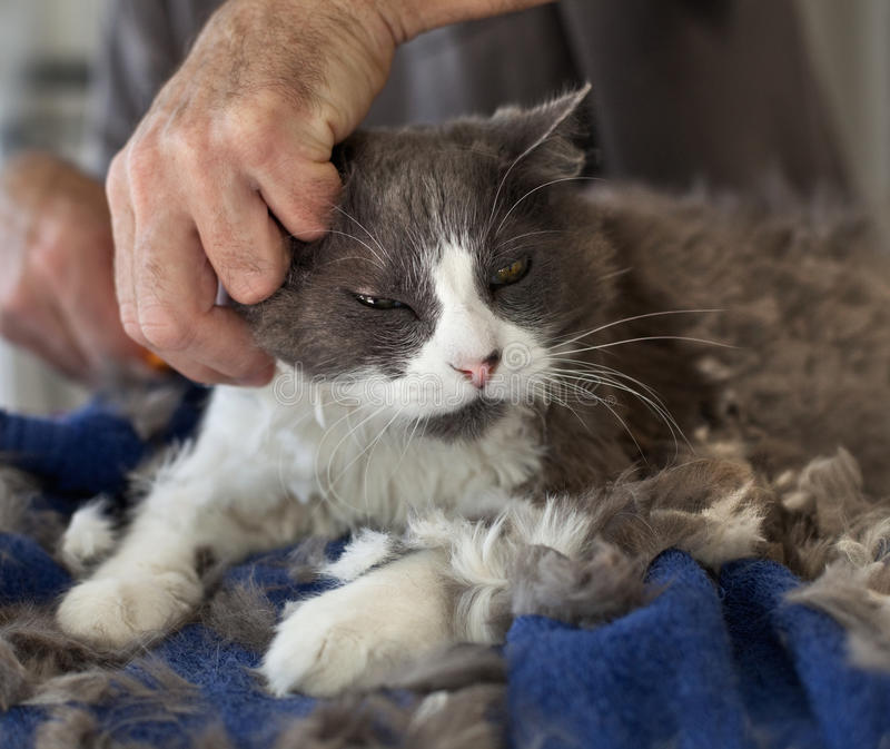 Cortar el gato persa imagen de archivo