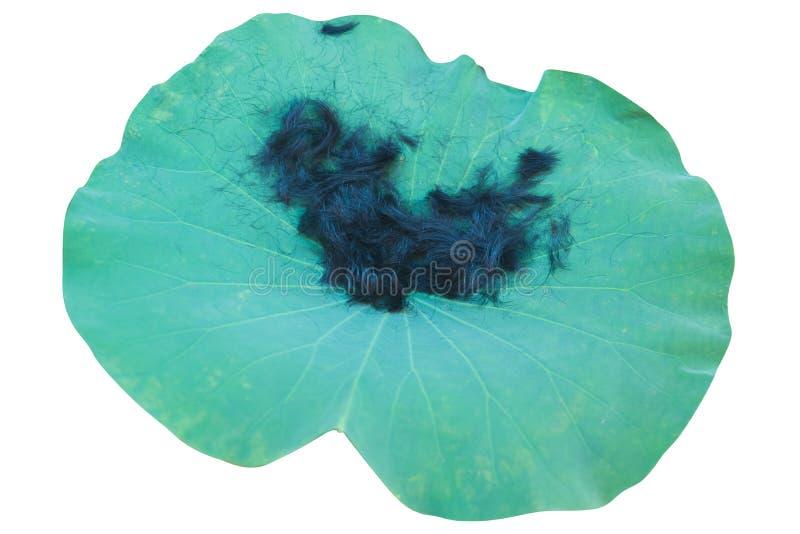 Cortar el pelo en la hoja de Lotus imagen de archivo libre de regalías