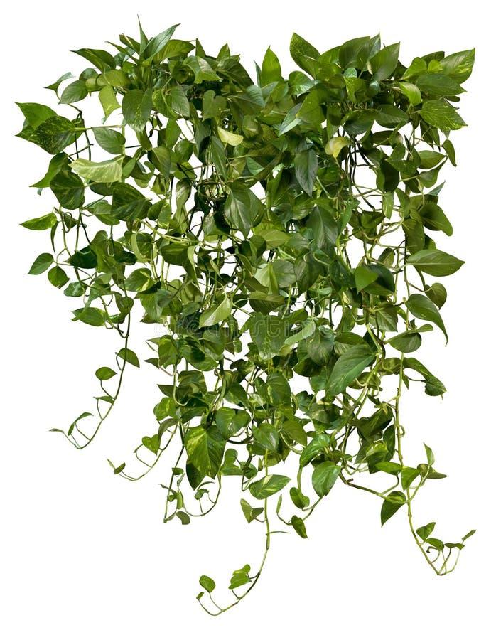 Cortar planta de hiedra. Vegetaci?n tropical foto de archivo libre de regalías