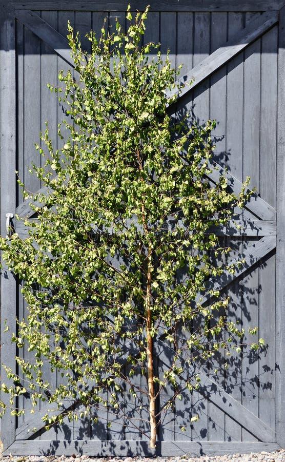 Corte a árvore de vidoeiro nova imagens de stock