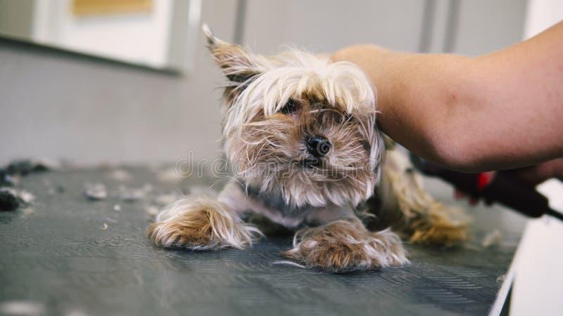 Corte de cabelo do cão no salão de beleza cuidado para yorkshires terrier imagens de stock royalty free