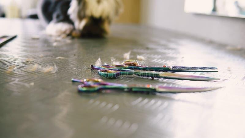 Corte de cabelo do cão no salão de beleza cuidado para yorkshires terrier imagem de stock