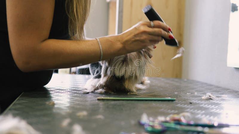 Corte de cabelo do cão no salão de beleza cuidado para yorkshires terrier fotos de stock royalty free