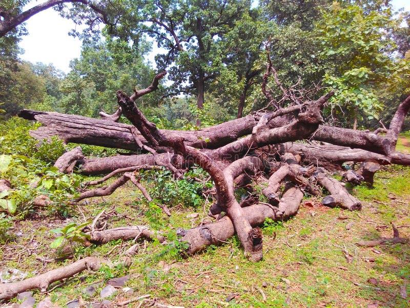 Corte de madeira da madeira do felling da árvore fotos de stock royalty free