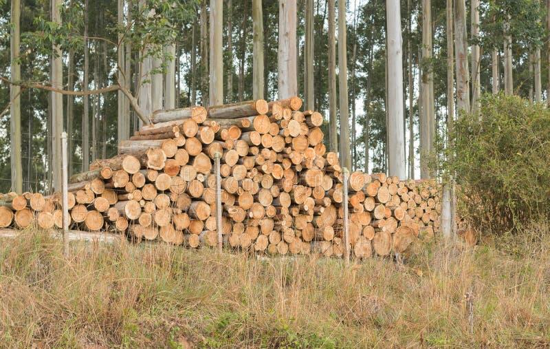 Corte de madeira do eucalipto e 01 processados imagem de stock