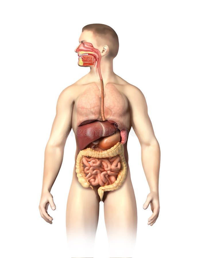 Corte del sistema digestivo de la anatomía del hombre. stock de ilustración