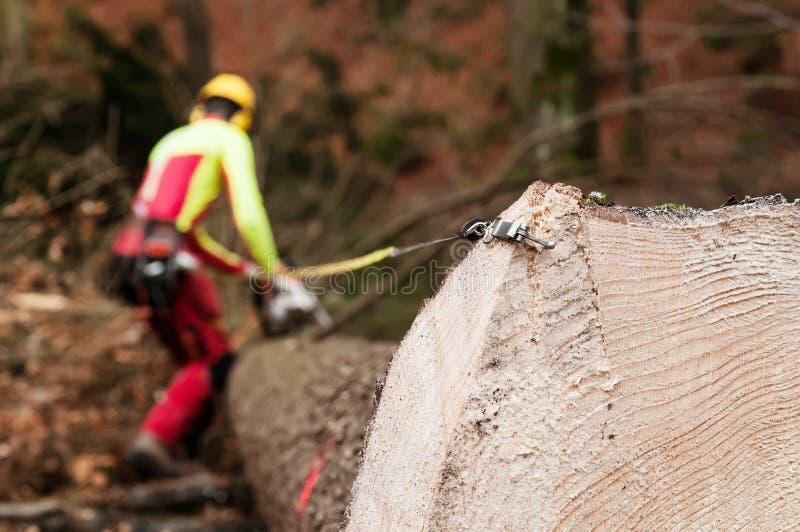 Corte do trabalhador da silvicultura e tronco spruce de medição com fita métrica imagem de stock royalty free
