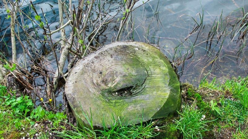 Corte do tronco ao longo da costa do lago foto de stock royalty free