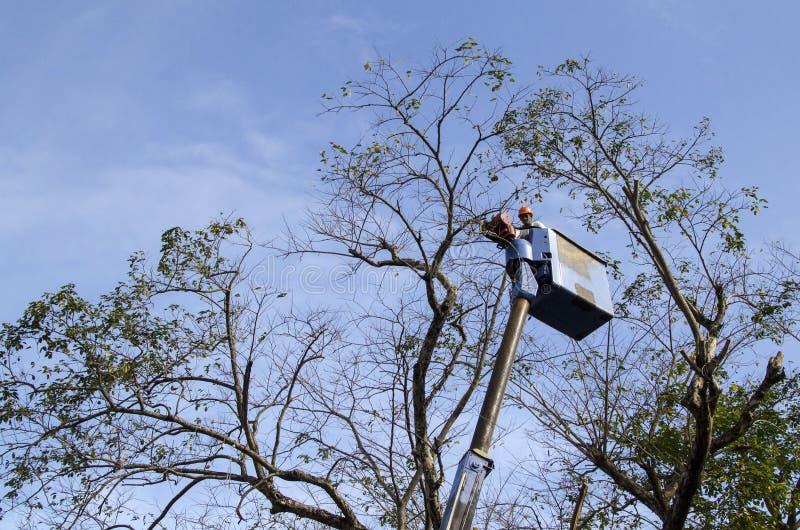 Corte dos trabalhadores, ameixa seca e ramos de árvore do narra da guarnição com serra de cadeia usando o telehandler com a cubet imagem de stock