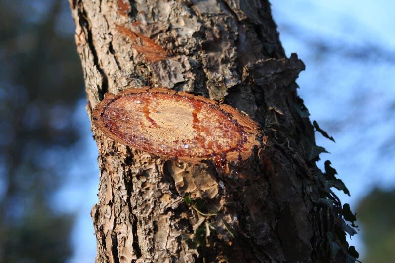 Corte el árbol con la resina fotografía de archivo