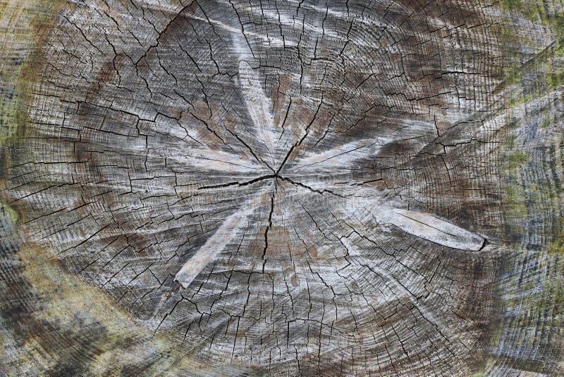 Corte el tronco de árbol - textura de la madera foto de archivo libre de regalías