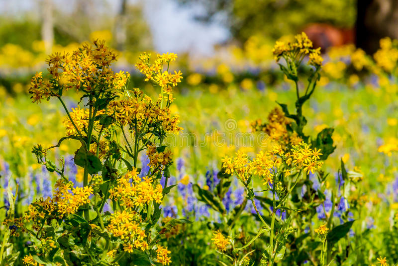 Corte a folha Groundsel Texas Wildflower amarelo brilhante misturado com outros Wildflowers imagem de stock