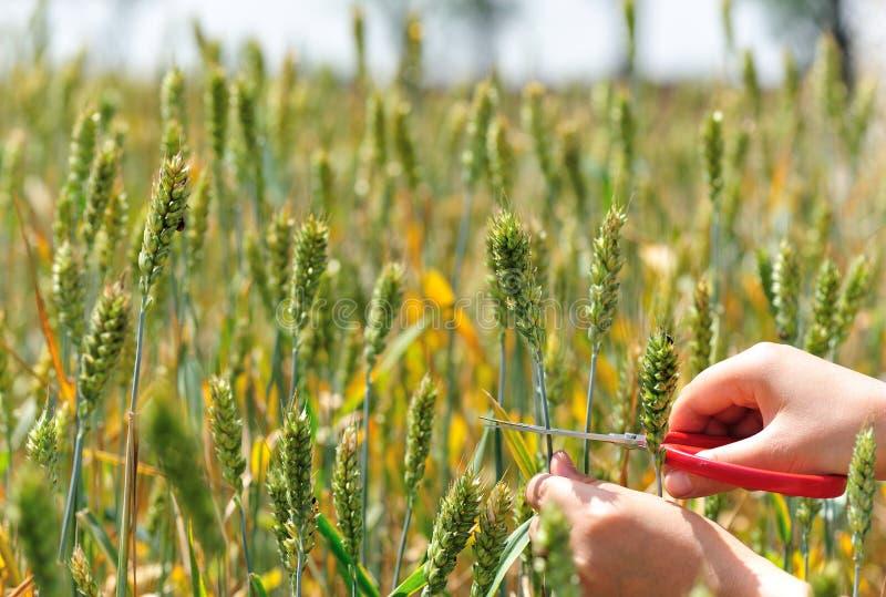 Corte a grão do trigo fotos de stock