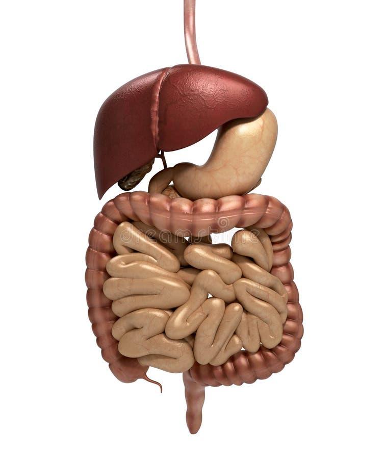 Corte Humano Del Sistema Digestivo De La Anatomía, Incluyendo Boca ...