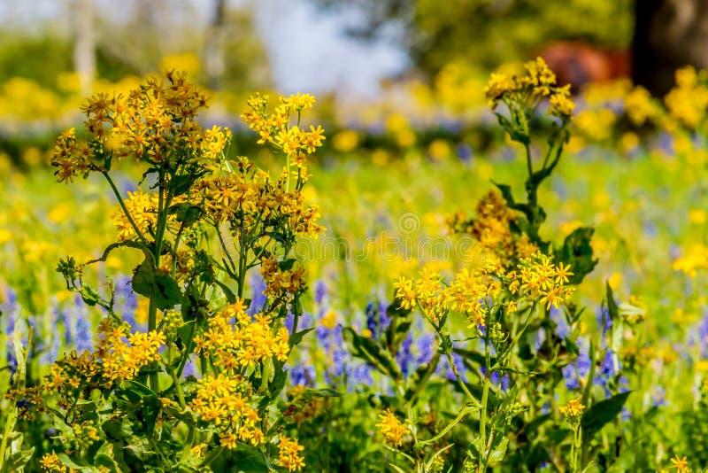 Corte la hoja Groundsel Texas Wildflower amarillo brillante mezclado con otros Wildflowers imagen de archivo