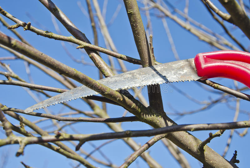 Corte la rama del manzano de la pasa en jardín de la primavera con el handsaw fotografía de archivo libre de regalías