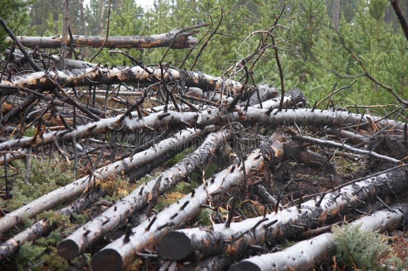 Corte los árboles en el parque nacional de yellowstone fotos de archivo