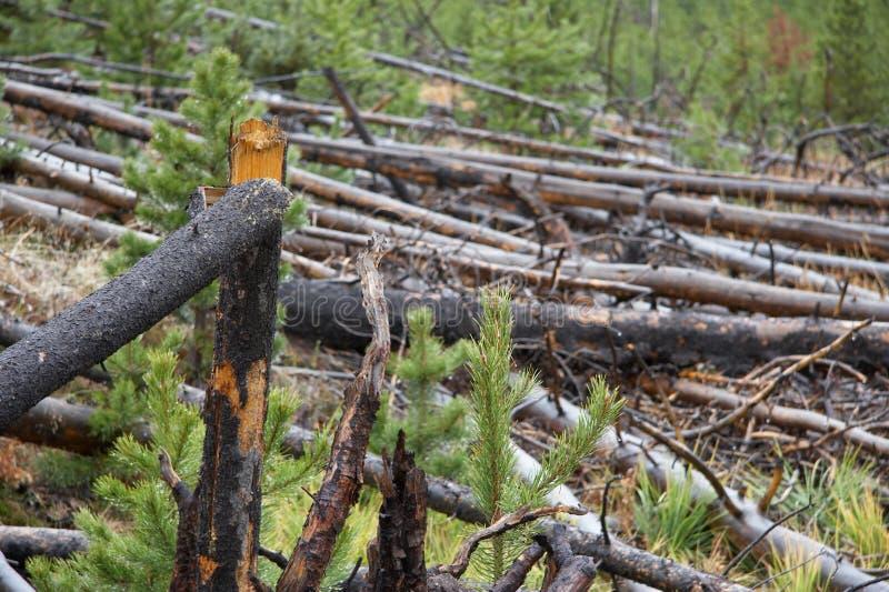 Corte los árboles en el parque nacional de yellowstone imágenes de archivo libres de regalías