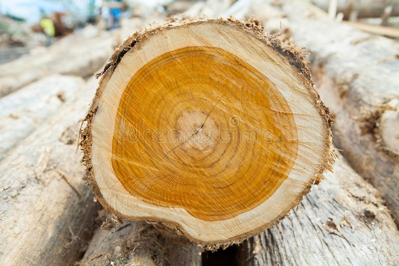 Corte no tronco do coto de árvore de madeira da teca com quebras e anéis da idade: foto de stock