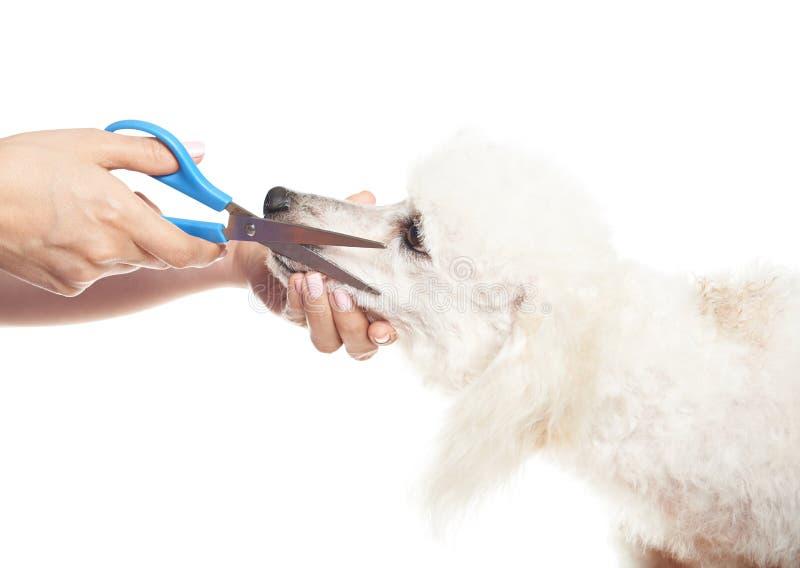 Corte o cabelo na cara da caniche fotografia de stock