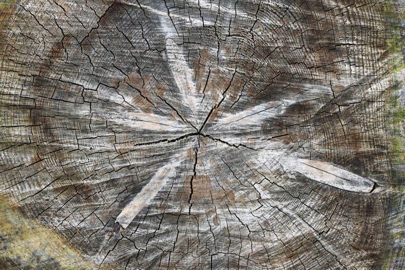Corte o tronco de árvore - textura da madeira - anéis anuais imagens de stock royalty free