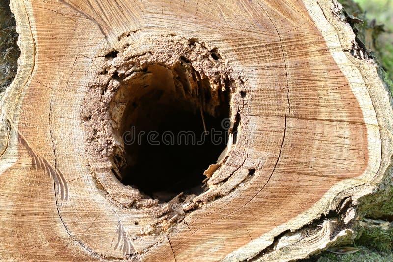 Corte o tronco de árvore - um furo na madeira foto de stock royalty free