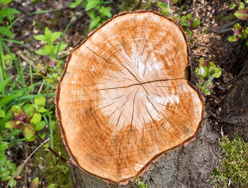 Corte recientemente el tocón de árbol imagen de archivo libre de regalías