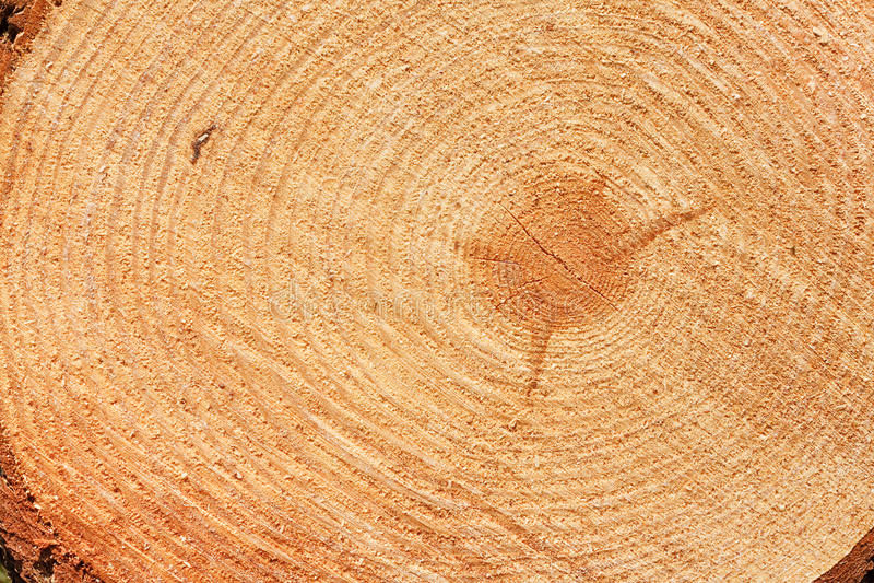 Corte recientemente los anillos de árbol de abeto fotos de archivo libres de regalías