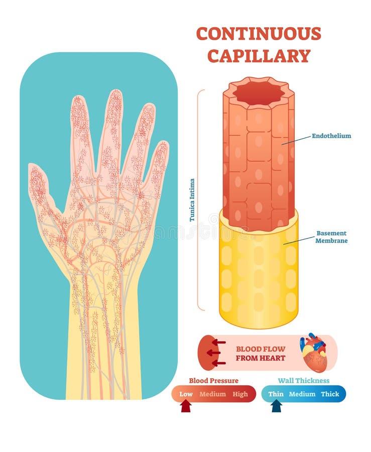 Corte transversal anatómico capilar continuo del ejemplo del vector Esquema del diagrama del vaso sanguíneo del sistema circulato stock de ilustración