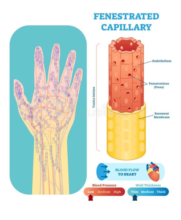 Corte transversal anatómico capilar fenestrado del ejemplo del vector Esquema del diagrama del vaso sanguíneo del sistema circula ilustración del vector