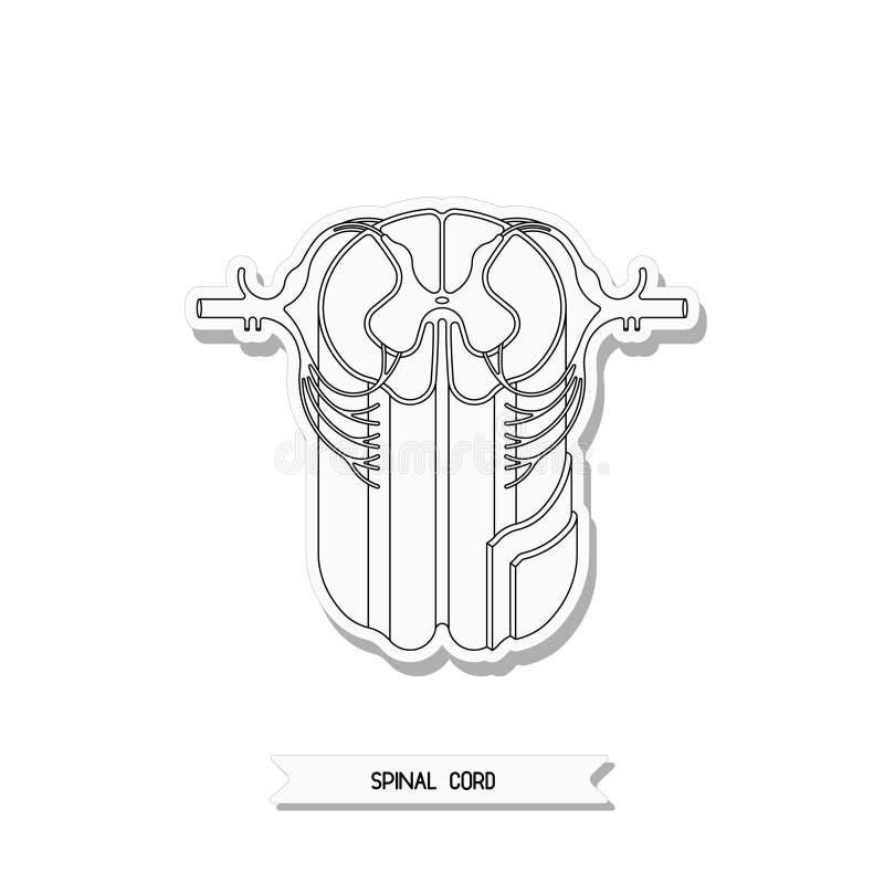 Corte transversal de la médula espinal ilustración del vector