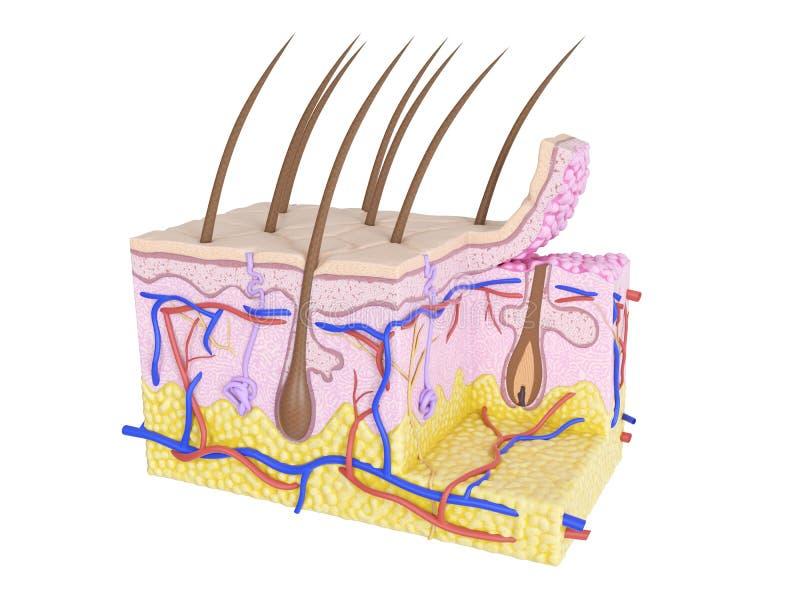 Corte transversal de la piel stock de ilustración