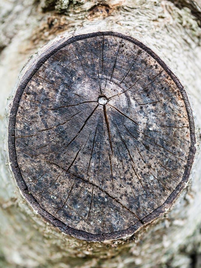 Corte transversal de la rama de árbol de nuez fotografía de archivo
