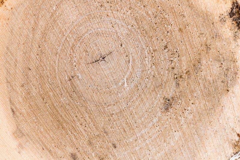 Corte transversal de un tronco y de un tocón de árbol Estructura de la madera Roun fotografía de archivo