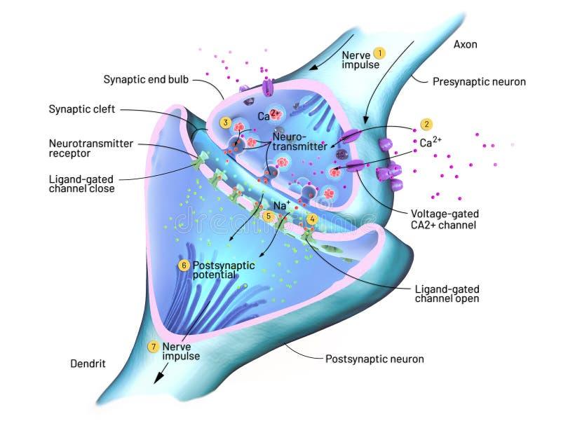 Corte transversal de una sinapsis o de una conexión neuronal con una célula nerviosa ilustración del vector