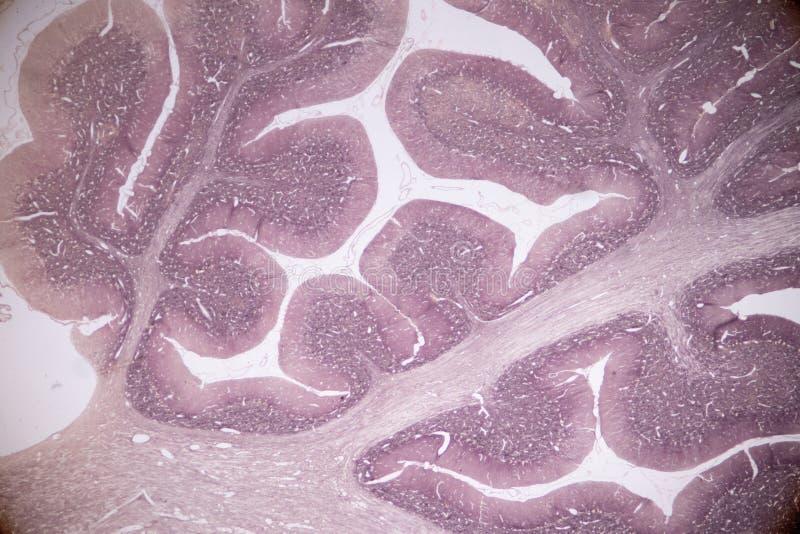 Corte transversal del cerebelo y del nervio humanos debajo del microscopio para la educación fotos de archivo